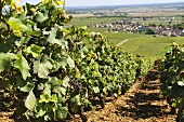Vineyard Romanee-Contie