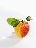 A freshly washed apricot with stem and leaves
