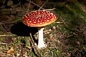 A fly agaric toadstool on the forest floor