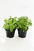 Basil and parsley in a plastic pot