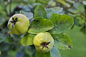 Unripe quinces on a tree
