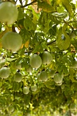 Passion fruit on the tree