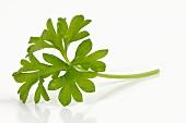 A parsley leaf