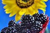 Brombeeren vor Sonnenblume (Close Up)