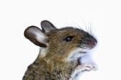 Live mouse