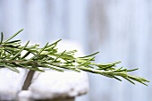 Sprigs of rosemary on wooden chair