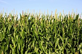 Field of corn (maize), detail