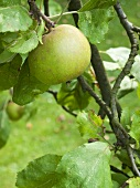 Apple (variety: Boskop) on the tree