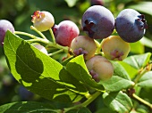 Blueberries (ripe and unripe) on the bush