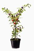 Chilli plant in flowerpot