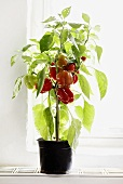Pepper plant in pot by window