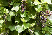 Red grapes (partly ripe) on the vine