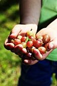 Hands full of gooseberries