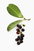 Sprig of cherry laurel with cherries
