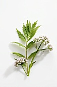 A stalk of valerian with flowers