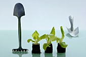 Young lettuce plants with gardening tools