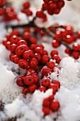 Holly berries in snow