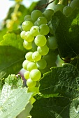Green grapes in sunlight