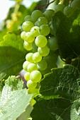 Green grapes in sunlight