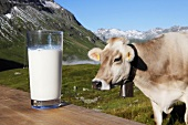 Glass of milk and cow in pasture