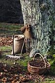 Kastanienernte (Ardeche, Frankreich)