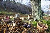 Chestnut harvest (Ardèche, France)