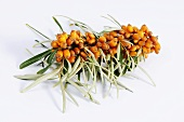 Sea buckthorn, branch with berries