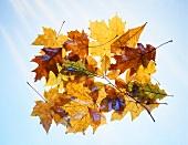 Herbstblätter vor blauem Himmel