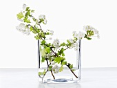 Hawthorn twigs in a glass of water
