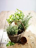Fresh herbs in pots in basket (thyme, rosemary, basil)