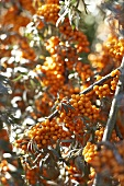 Sea buckthorn bush (detail)