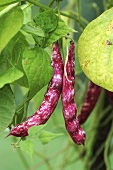 Borlotti beans on the plant