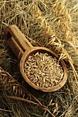 Oat grains and ears of oats on hay