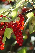 Branch with redcurrants