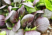 Asian salad plants (Brassica rapa) in vegetable bed