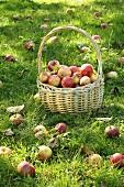 Freshly picked apples in basket