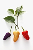 Different coloured chillies on white background