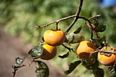 Persimmons on the branch