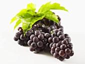Black grapes, variety Concord