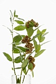 Branch of bay leaves with flowers