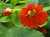 Nasturtium flowers with drops of water