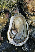 Wild oyster from Amrum on the North Sea