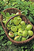 Organic Granny Smith apples in basket on grass