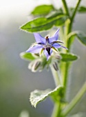 Borage flower (close-up)