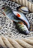Fresh fish and shellfish in net