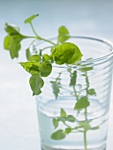 Chickweed in a glass of water