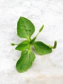 Fresh plantain