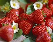 Strawberries, variety 'Fragaria x ananassa Pavana'