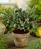 Small olive tree in flowerpot
