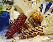 Ornamental maize